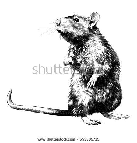 Rat On Hind Legs Is Black And White Sketch Vector Rats Black And White Sketches Black And White Drawing