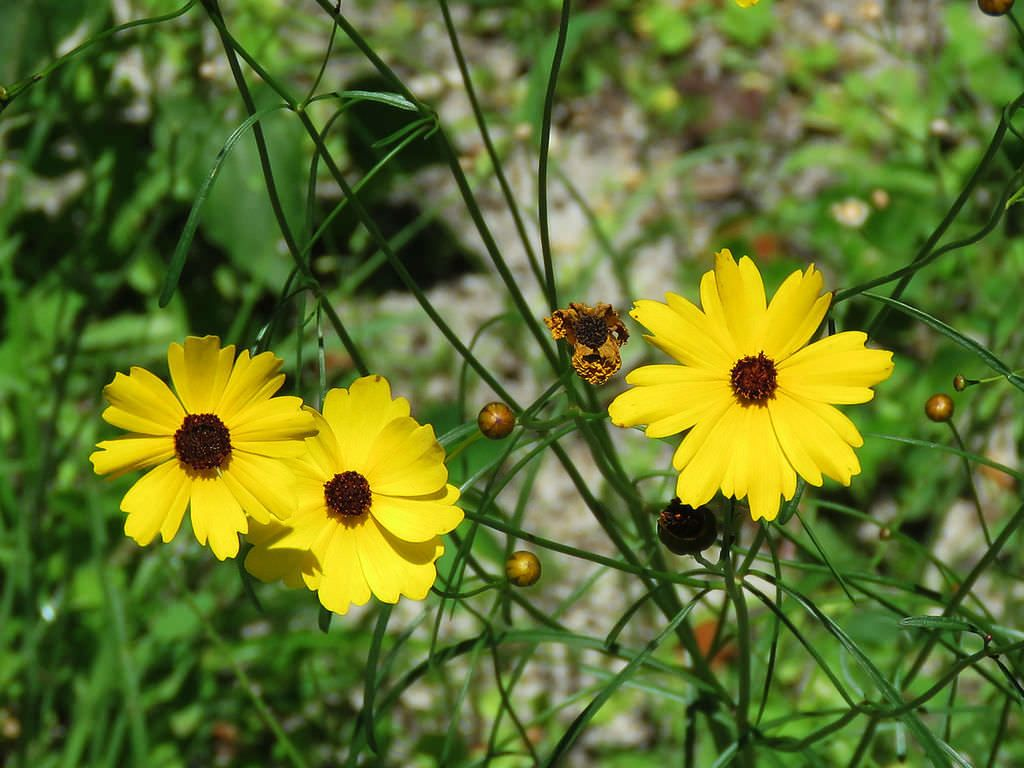 Coreopsis Leavenworthii Leavenworths Tickseed Nature Pinterest