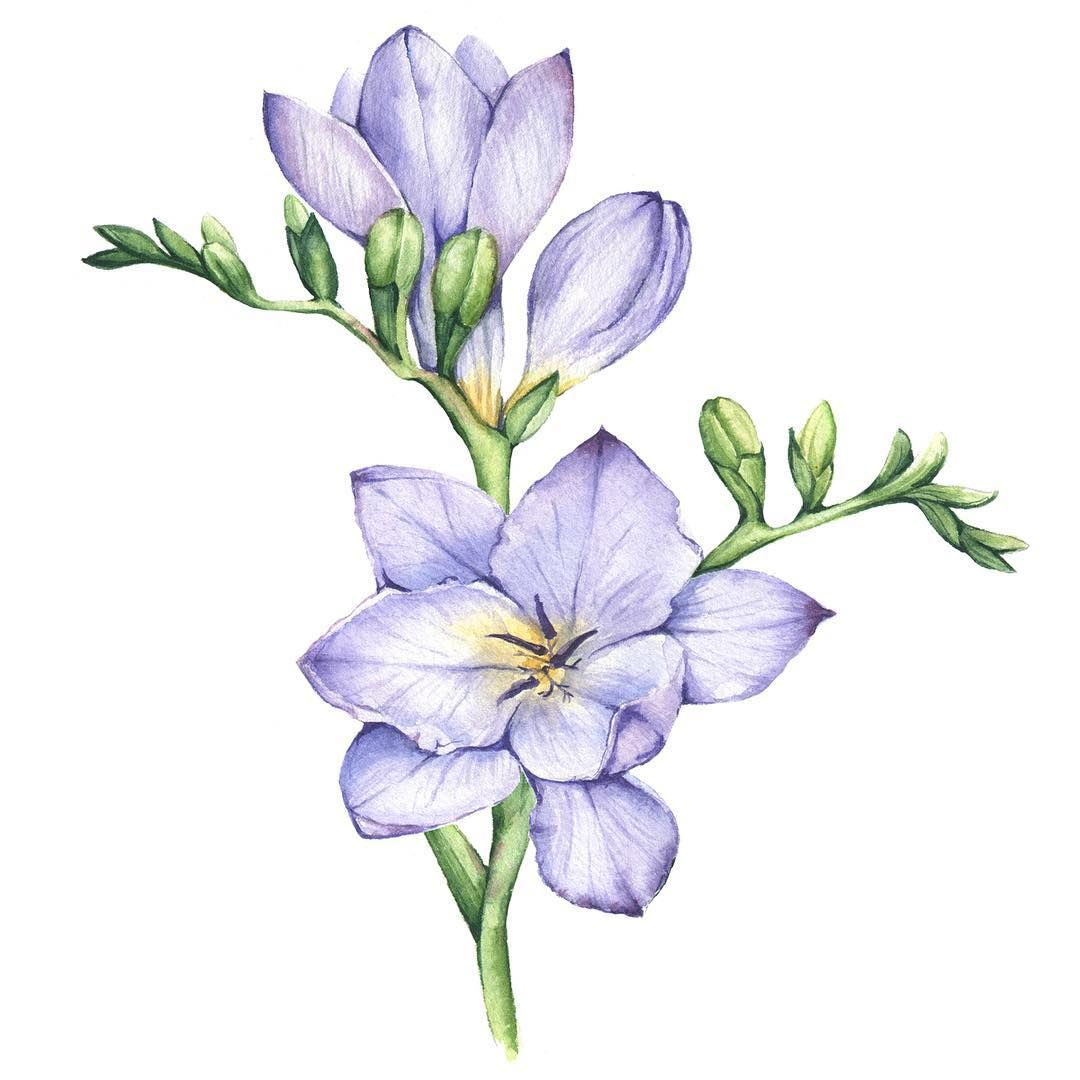 You Can Buy This And 8 More Freesia Flower In My Shop The Link Is In My Bio Flowers Fre Beautiful Flower Drawings Flower Art Drawing Flower Drawing