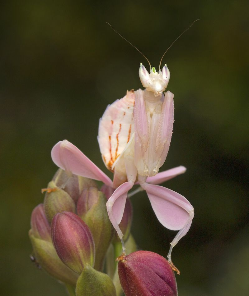 Orchid Mantis Orchid Mantis Praying Mantis Beautiful Bugs