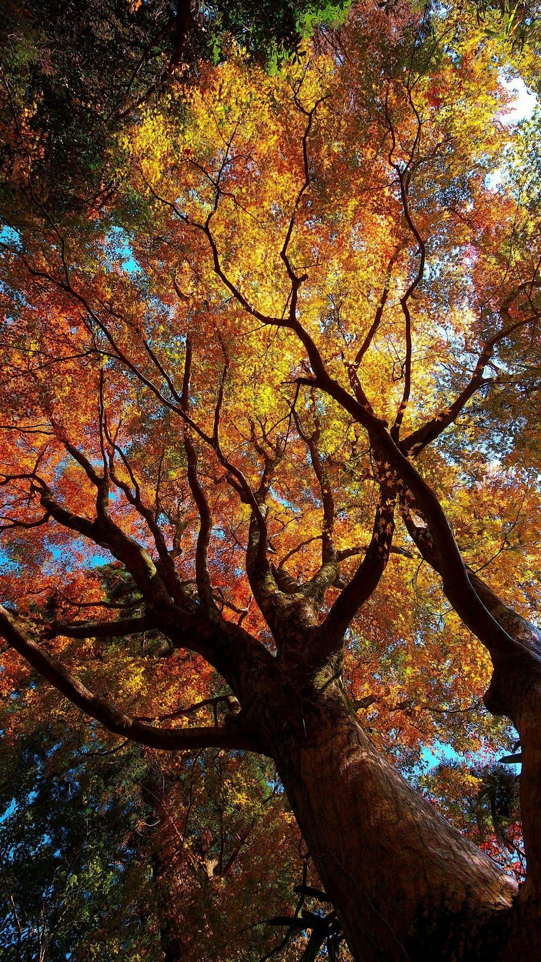 HD glorious tree iPhone 6 / 6s / Plus wallpapers, nature