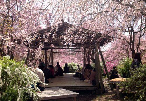 Cherry blossoms SAKURA in Kyoto JAPAN 京都原谷苑の桜