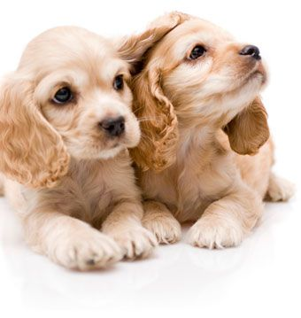 Cocker Spanials Capri Jewelers Arizona Offers Unique Jewelry Along With No Credit Check Financing Options Puppies Cute Puppies Cocker Spaniel Puppies