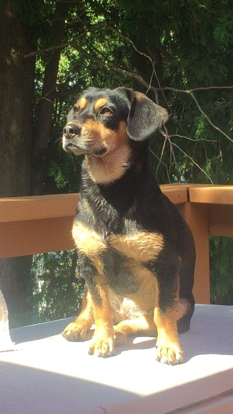 Cutest dog its a beagle and a daschund mix love the
