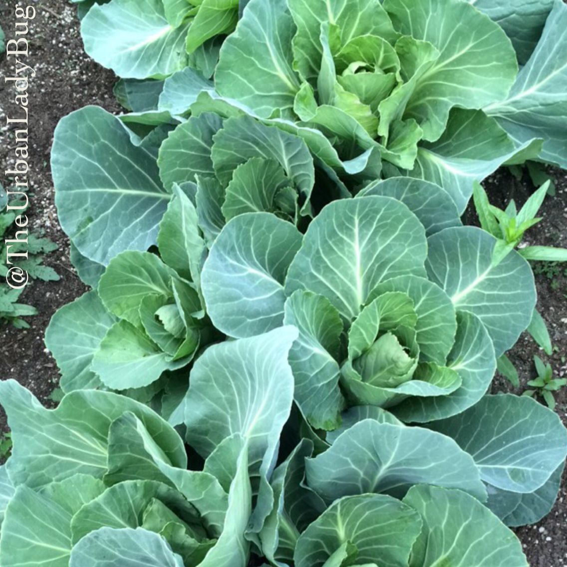 Homegrown Organic Cabbage Heads Starting For Form (With