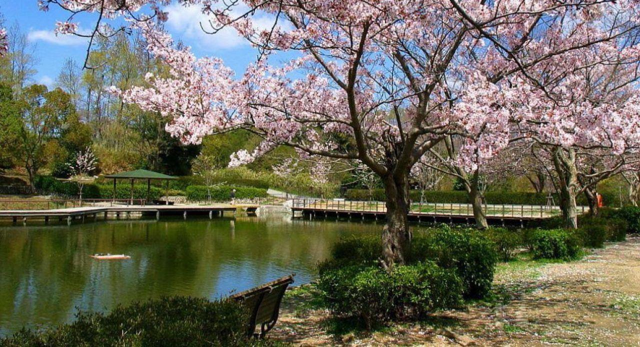 24 Gambar Bunga Sakura Indah Gambar Bunga Bunga Sakura Bunga