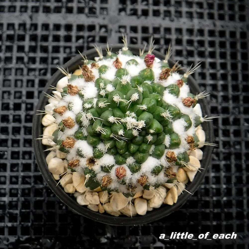 ORCHID CACTUS SEEDS CLOWN  JUST HARVESTED