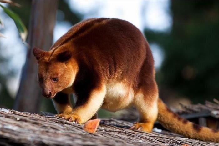 10 Especies De Animales Que Encontrarás En Un único Lugar Animales Raros Canguros Mascotas Exóticas