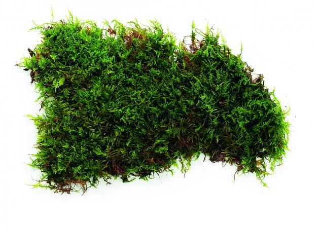 Sheet Moss Hypnum One Of The Most Common Types Of Moss Thrives