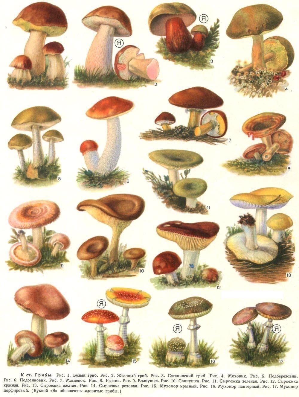 красные грибы фото с названиями