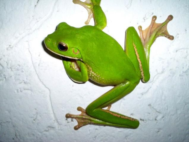 White lip green tree frog by jmds (Photo)   Weather ...