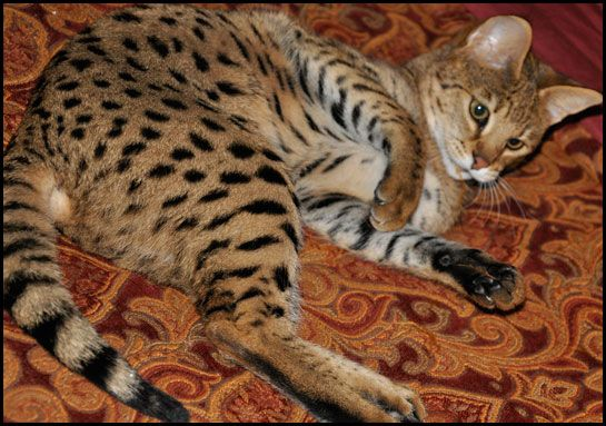 I Don T Like Cats But If I Wereto Get One It Would Be A Savannah Cat 3 Races De Chats Chat Leopard Savane