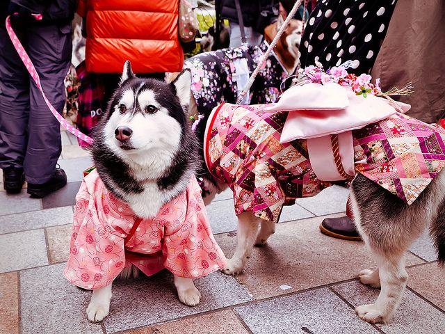 Kimono Dogs Harajuku Japanese Dogs Dogs Akita Dog