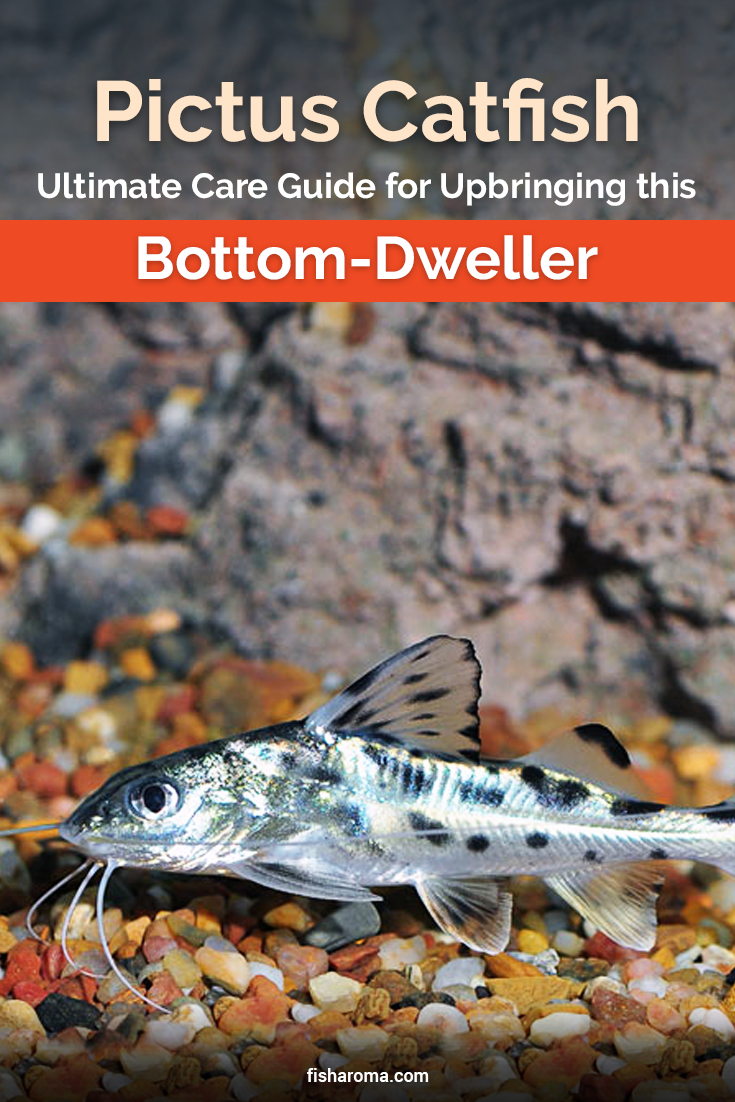 Pictus Catfish Ultimate Care Guide For Upbringing This Bottom Dweller Catfish Fish Tank Cleaning Fish