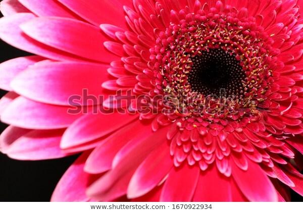 Bright Pink Gerbera Flower Closeup On Stock Photo Edit Now 1670922934 V 2020 G S Izobrazheniyami