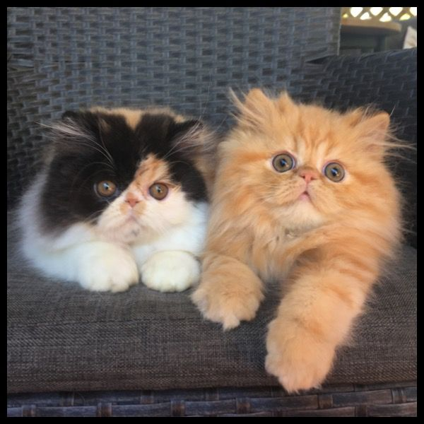 Bengal Cat Vs Persian Cat Behind The Glass Cute Cats And Dogs Teacup Persian Cats Beautiful Cats