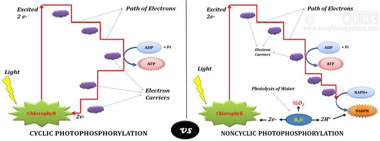 Cyclic Vs Noncyclic Light Reaction Plant Physiology Pinterest
