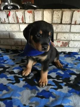 Litter Of 5 Rottweiler Puppies For Sale In Franklin In Adn 48963