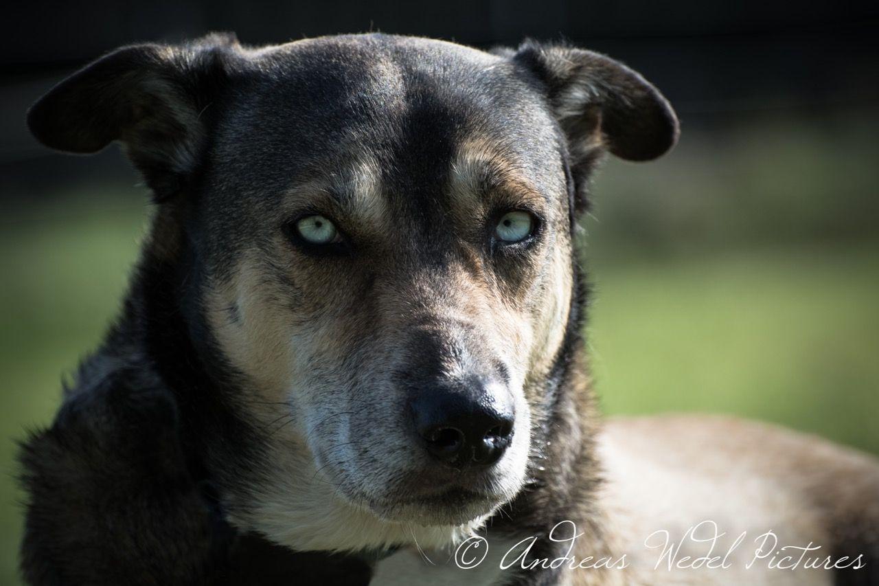 Husky Mischling Dogs Hunde Gunzenhausen Fotografie Hundefotografie Photography Cinemalook Tierfotografie Photog Hunde Hundefotografie Tierfotografie