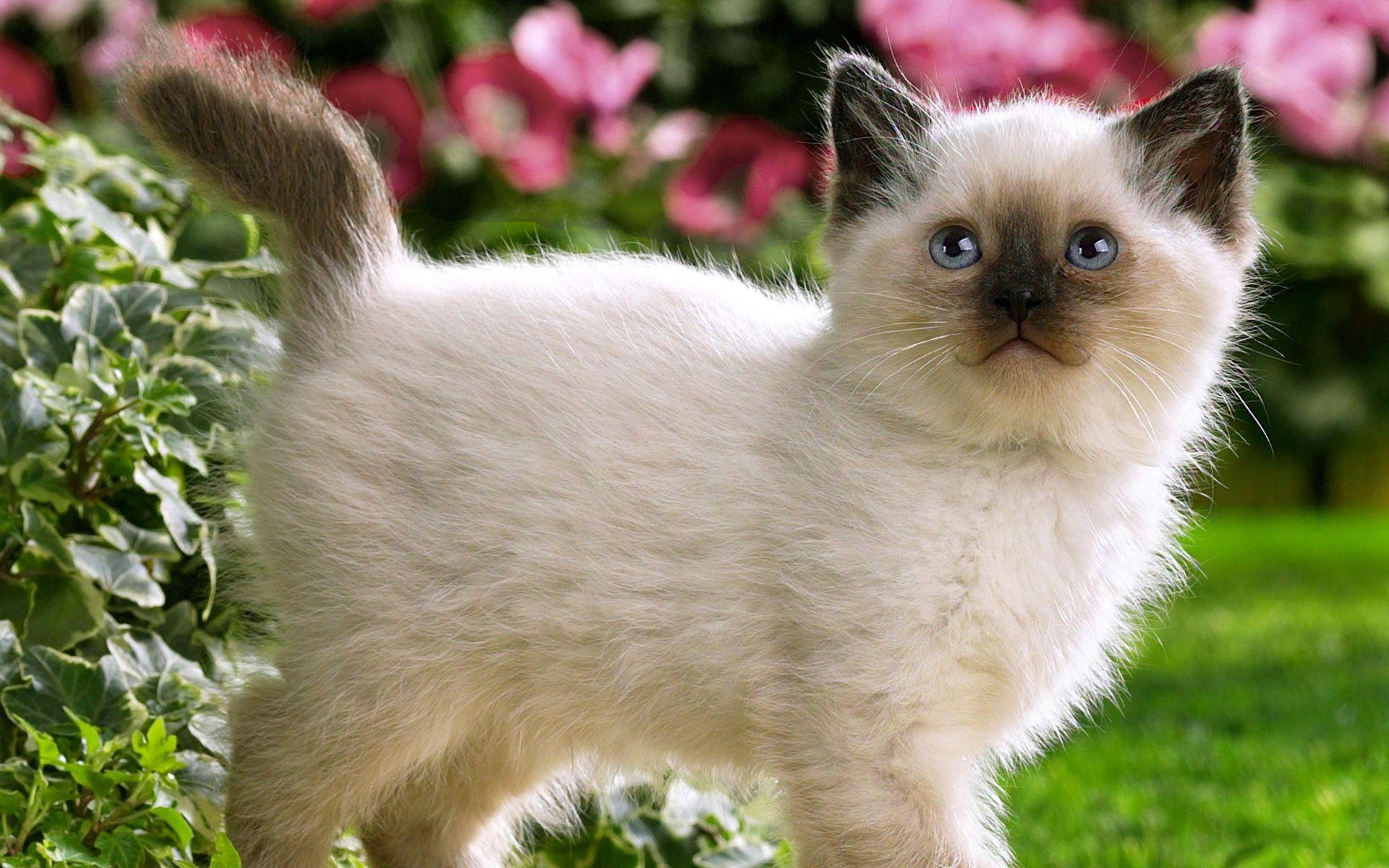 Siamese Kitten Wallpaper Wallpapertag In 2020 Kittens Cutest Cute Animals Cute Cats Photos