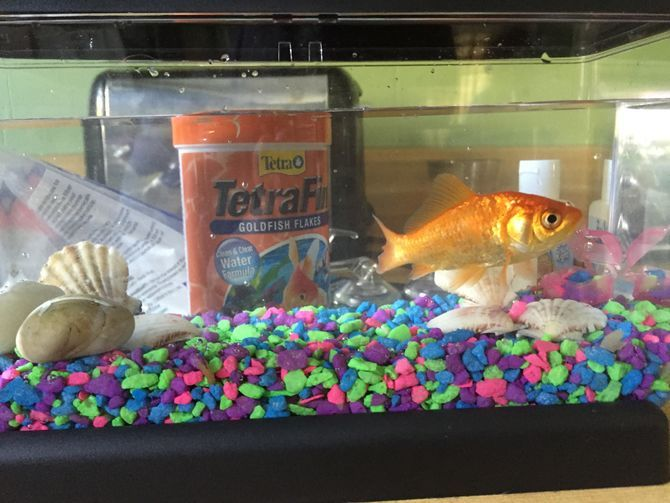 What Other Fish Can Live With Goldfish