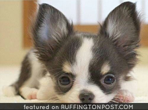 Pin By Ruffington Post On Chihuahua Pictures Baby Chihuahua