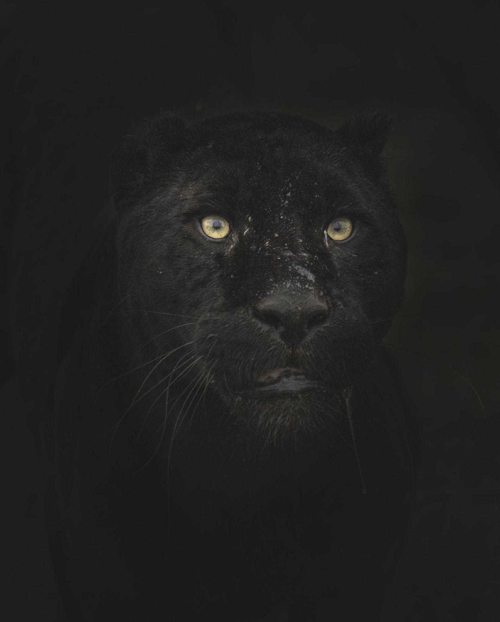 Pin Na Doshci Black Jaguar