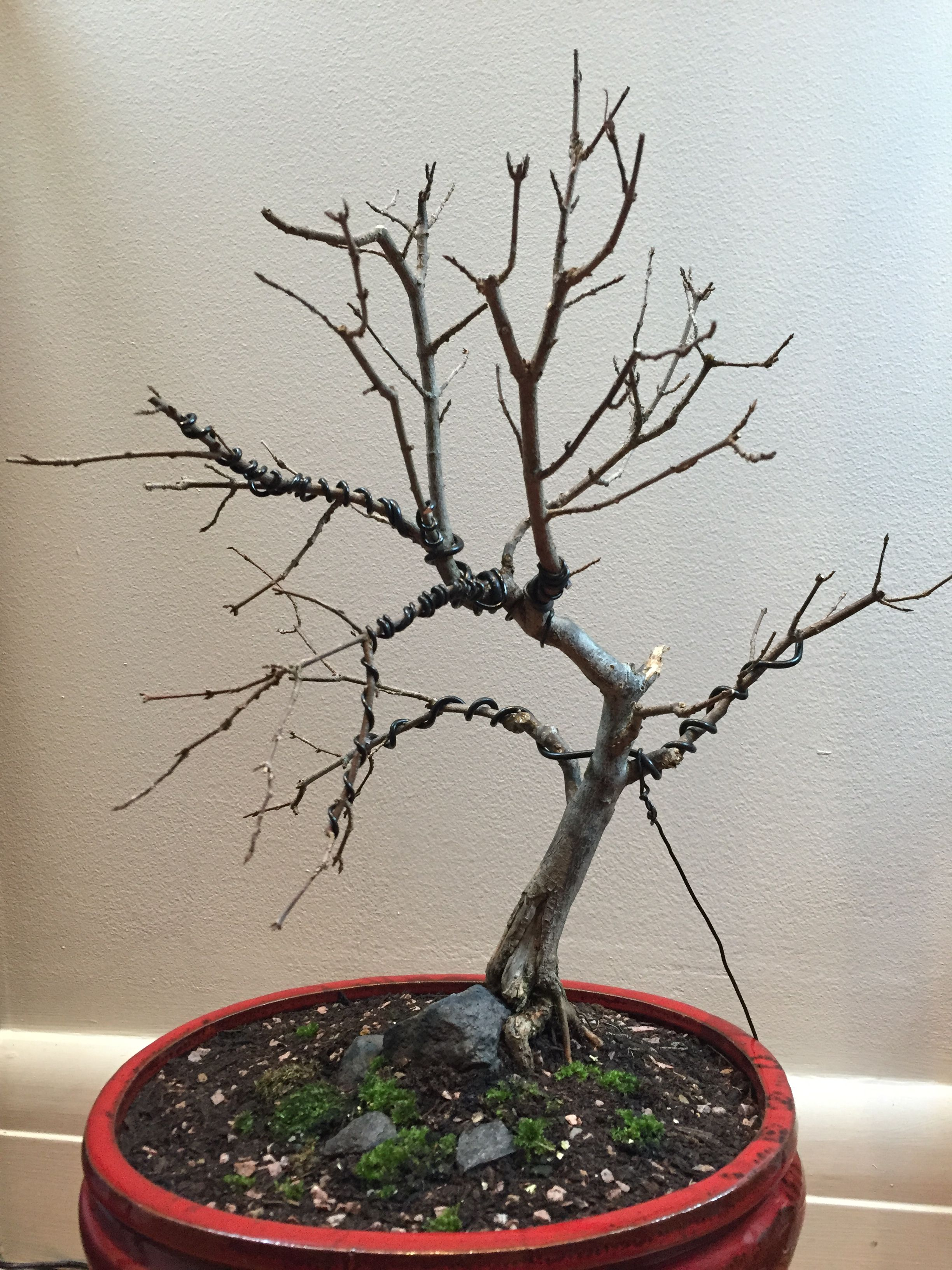 Awesome My Trident Maple First Pruning Wiring And Re Potting 09 06 2016 Wiring Digital Resources Cettecompassionincorg