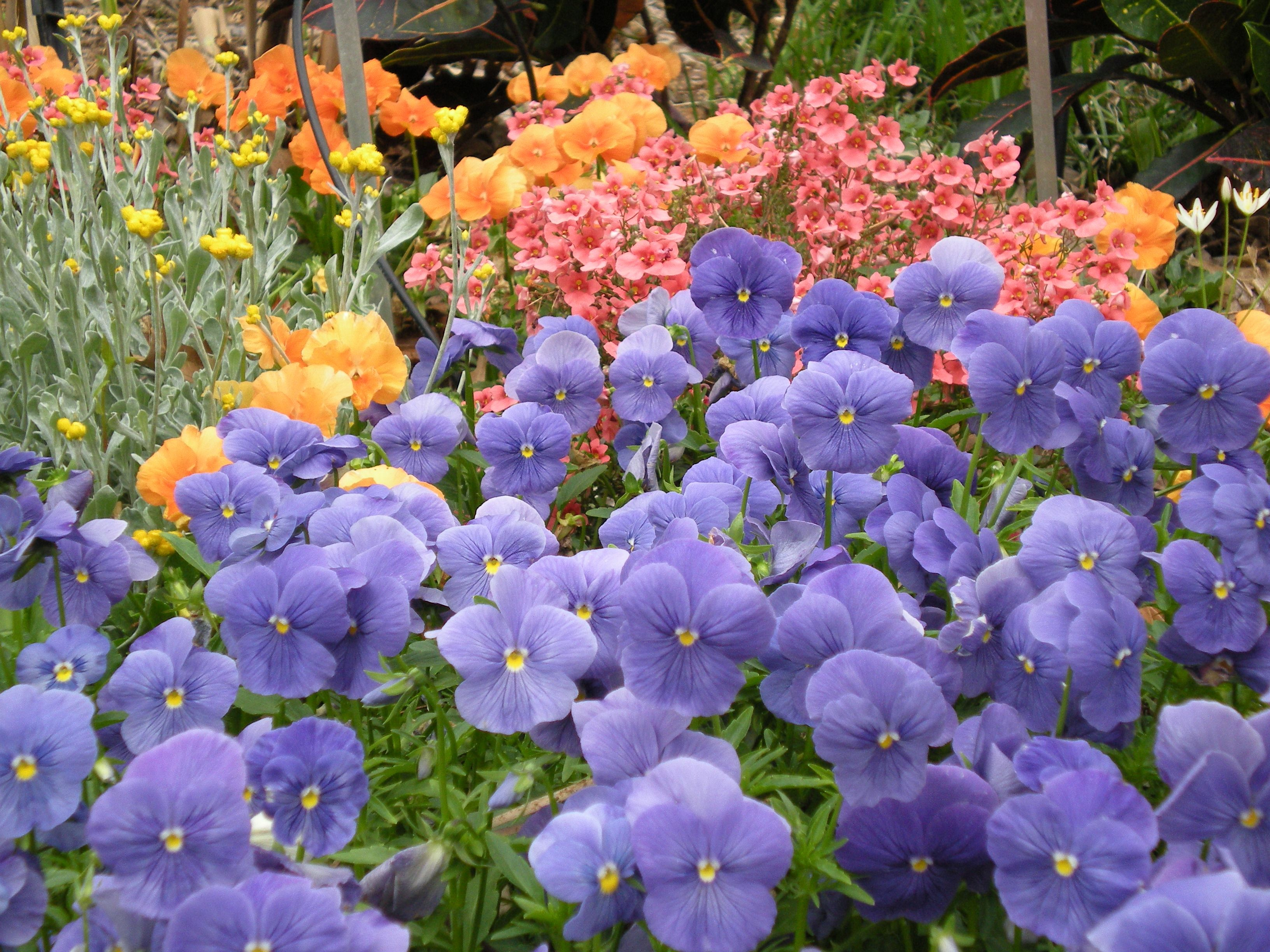 Fall is a great time for planting shrubs and trees as well as winter fall is a great time for planting shrubs and trees as well as winter annuals such as these pansies and diascia flowers izmirmasajfo