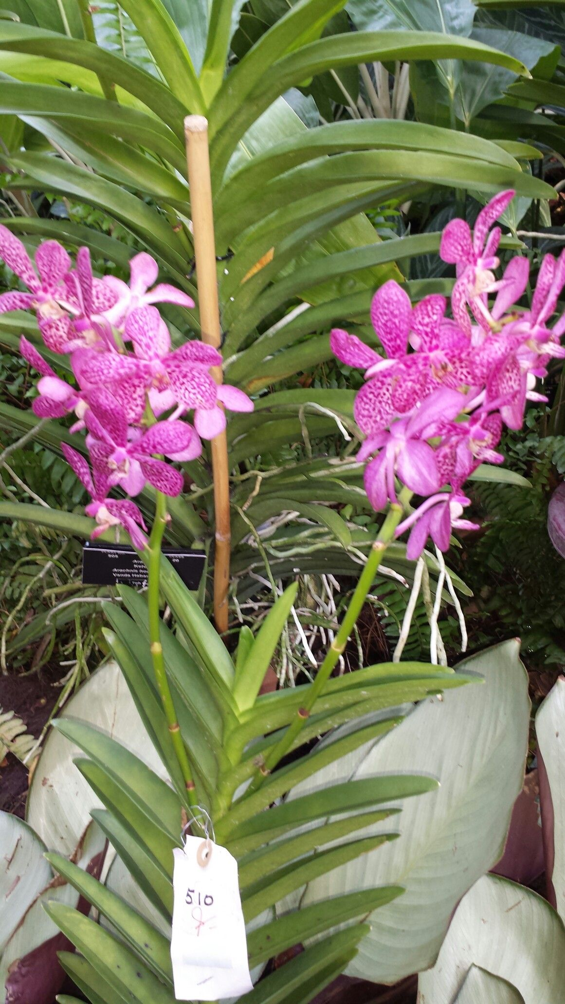 Pin by flowers in heart on vanda orchids pinterest vanda orchids