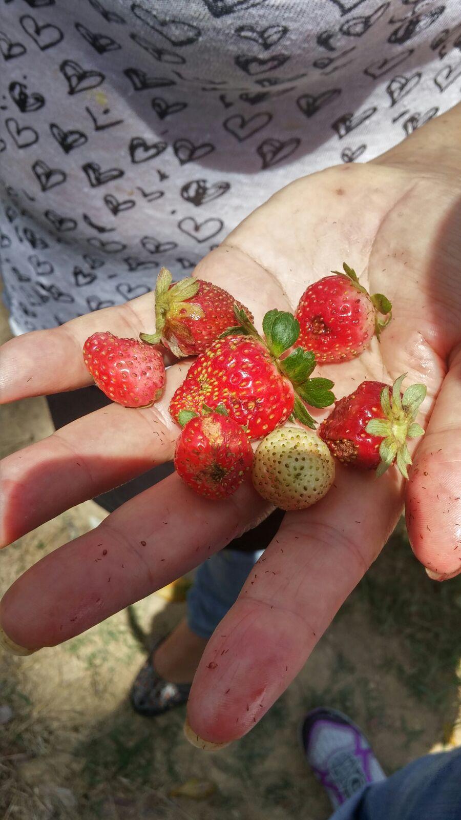 Fresas del campo Constanza, República Dominicana