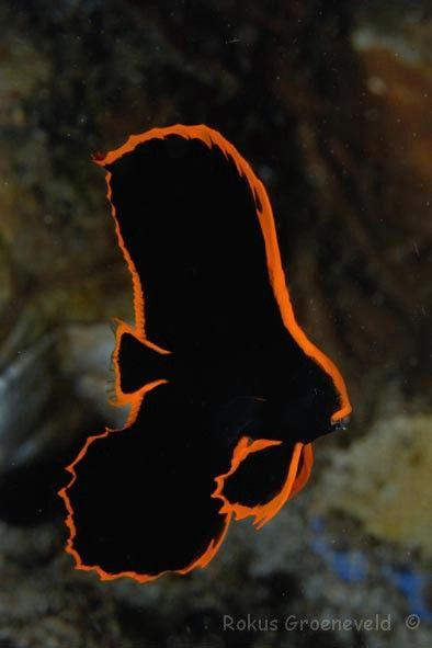 Juvenile Pinnatus Batfish Batfish Tropical Fish Aquarium Betta Fish Care