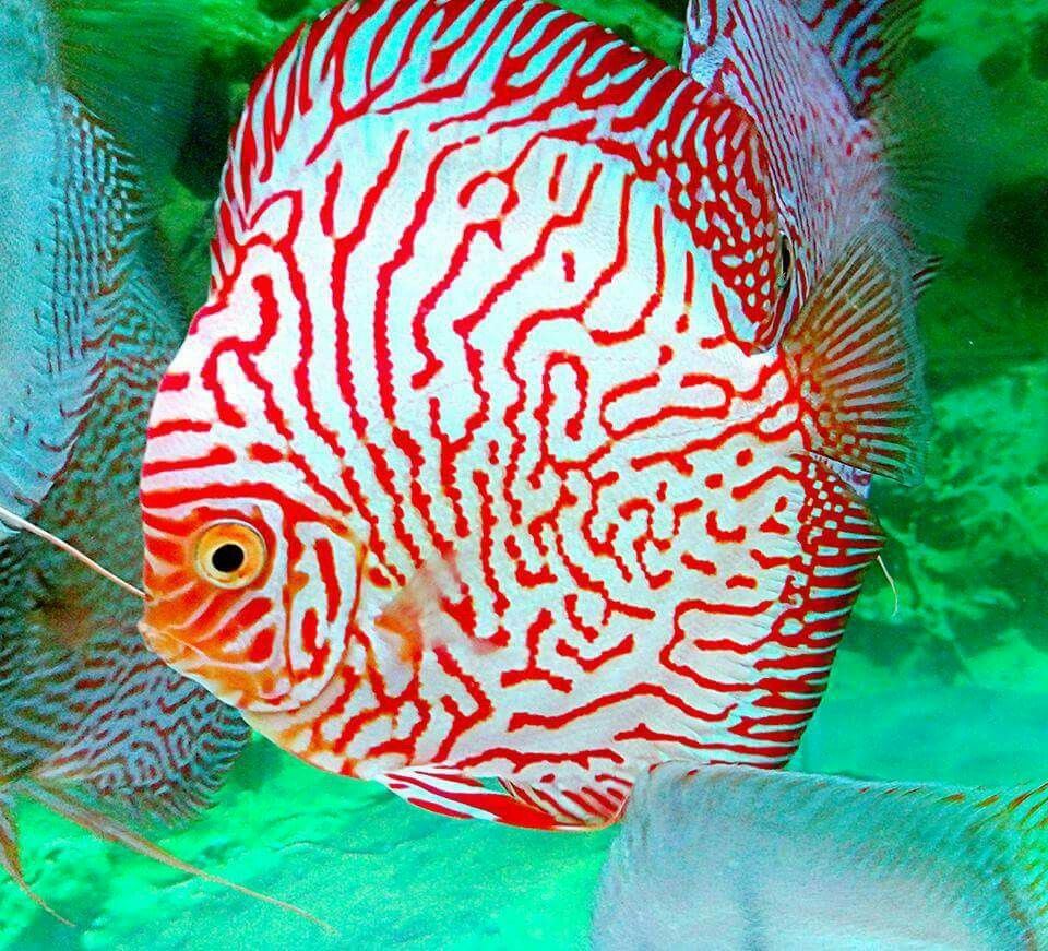 Pin by Pinner on Discus | Pinterest | Discus, Fish and Aquariums
