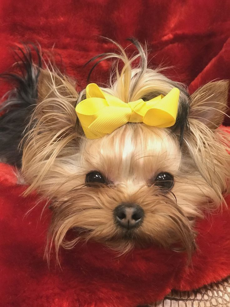 Pin by Wilma M. Graham on Yorkshire Yorkshire terrier