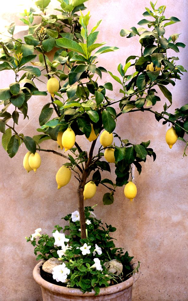 Citronnier 'Meyer' Plantes méditerranéennes, Engrais