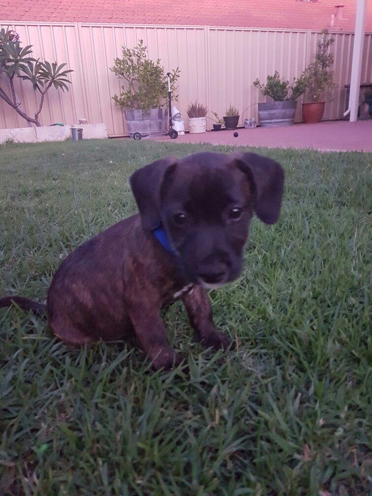 Buster Jack Russell Cross Staffy Puppy Labrador Retriever Animals