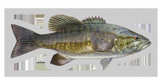 Bass Fishing For Fun Bassfishingvasics Striped Bass Fishing Bass Fishing Fish