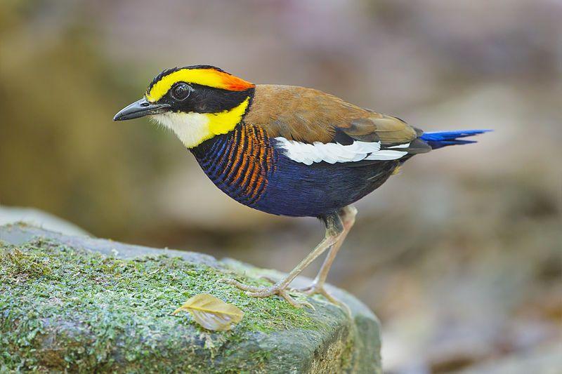 Malayan Banded Pitta (Hydrornis irena), Sri Phang Nga National Park, Phang Nga…