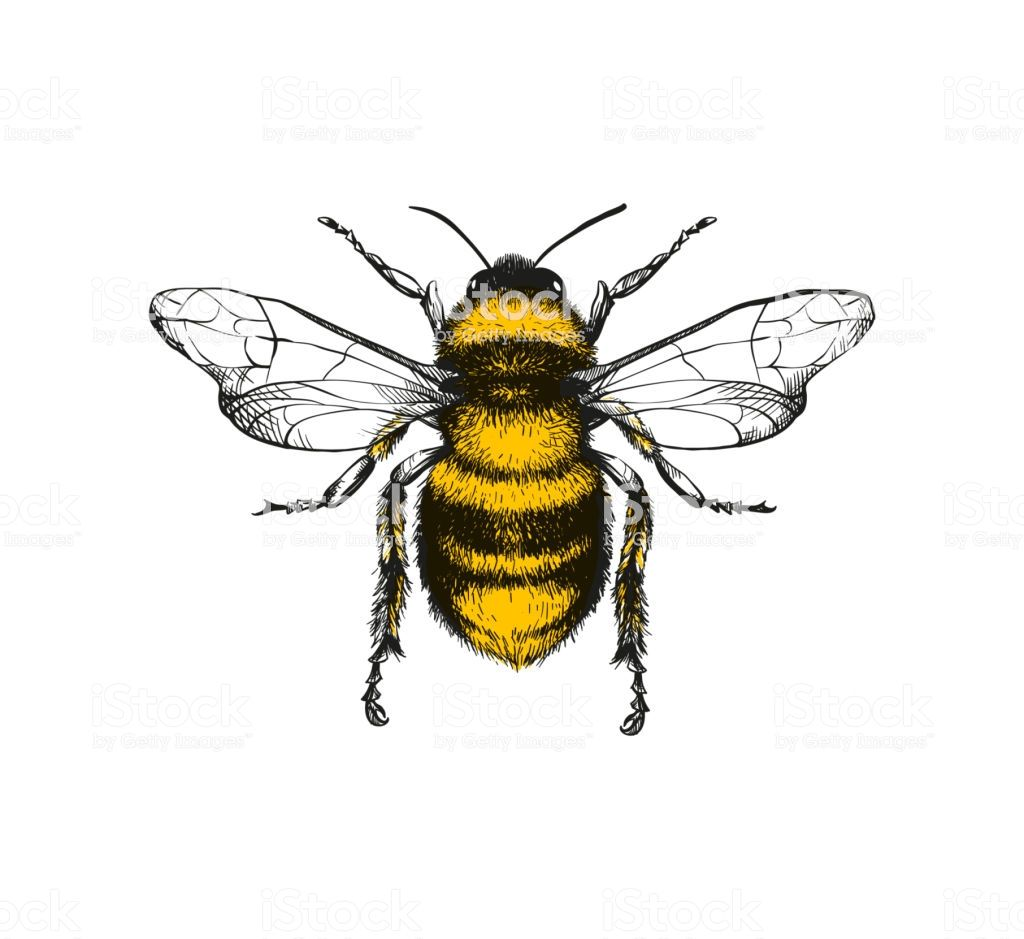 Vector engraving illustration of honey bee on white background is part of Bee illustration, Bee painting, Bumble bee illustration, Honeybee art, Bee art, Bee drawing - Vector engraving illustration of honey bee on white background