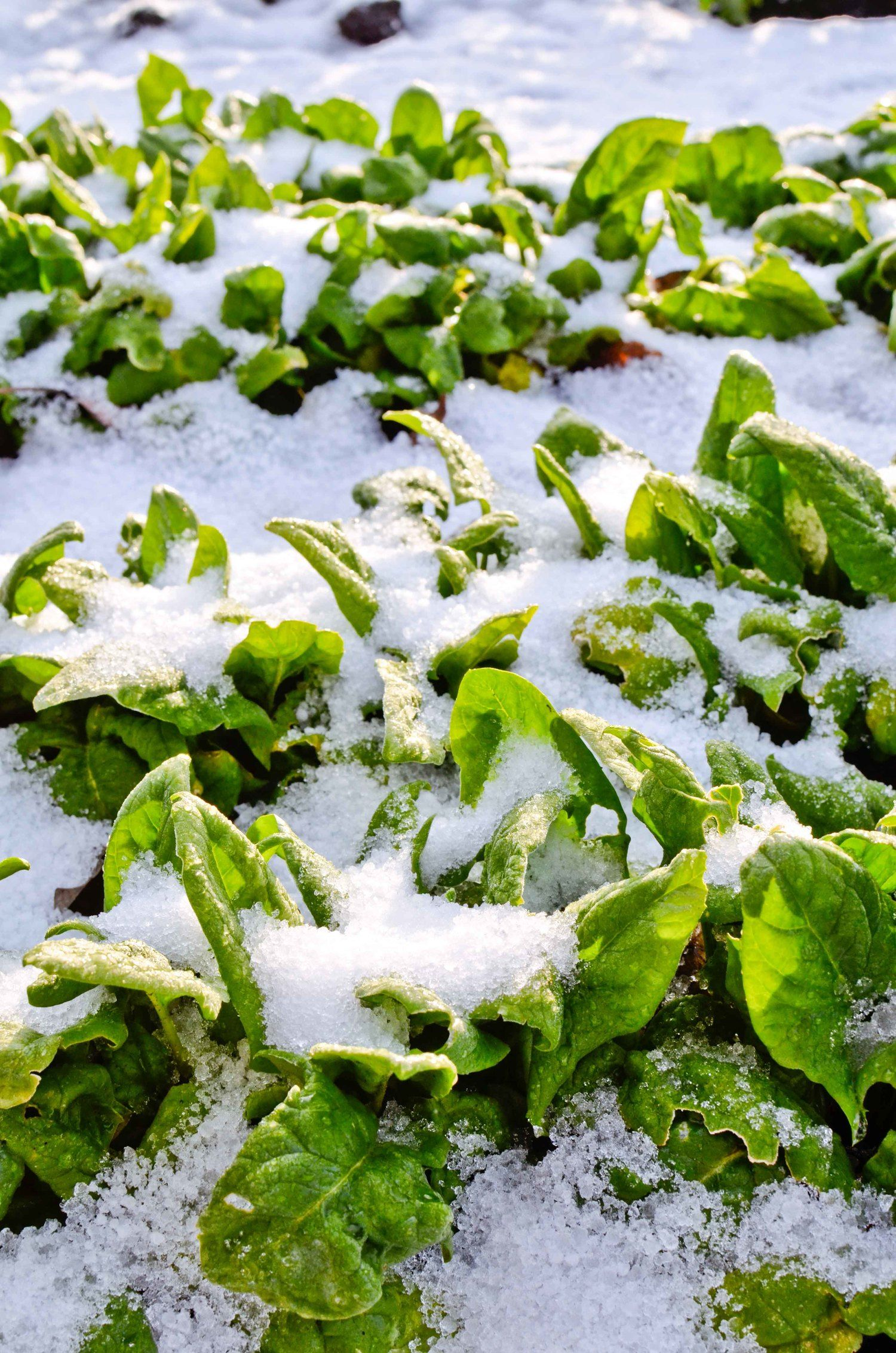 Overwintering Crops that can withstand the cold and how