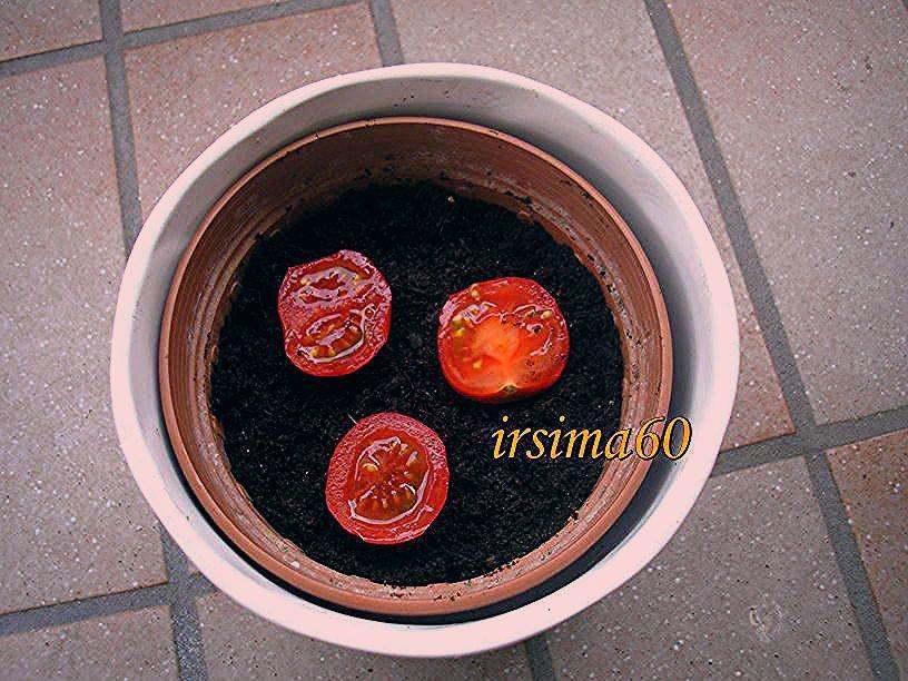 Photo of Tomatenpflanzen selber ziehen aus frischen Tomaten – Tipp