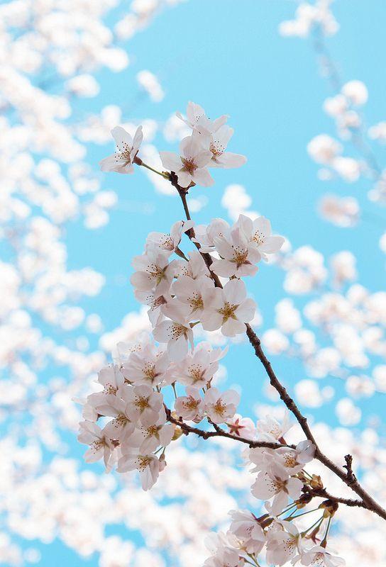 Sakura Sakura Wallpapers Cherry Blossom Wallpaper Flower Background Wallpaper Blue cherry blossom wallpaper