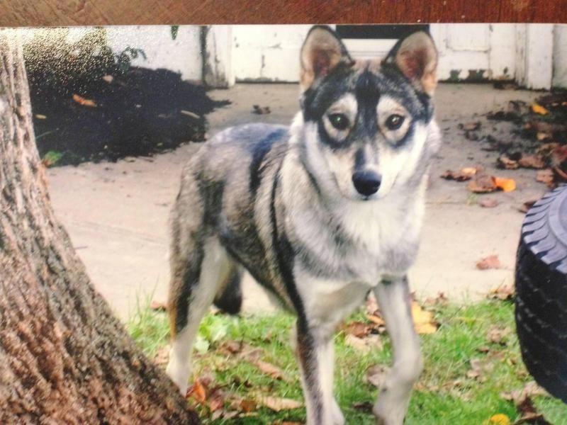 Meet Ally A Petfinder Adoptable Siberian Husky Dog Louisville