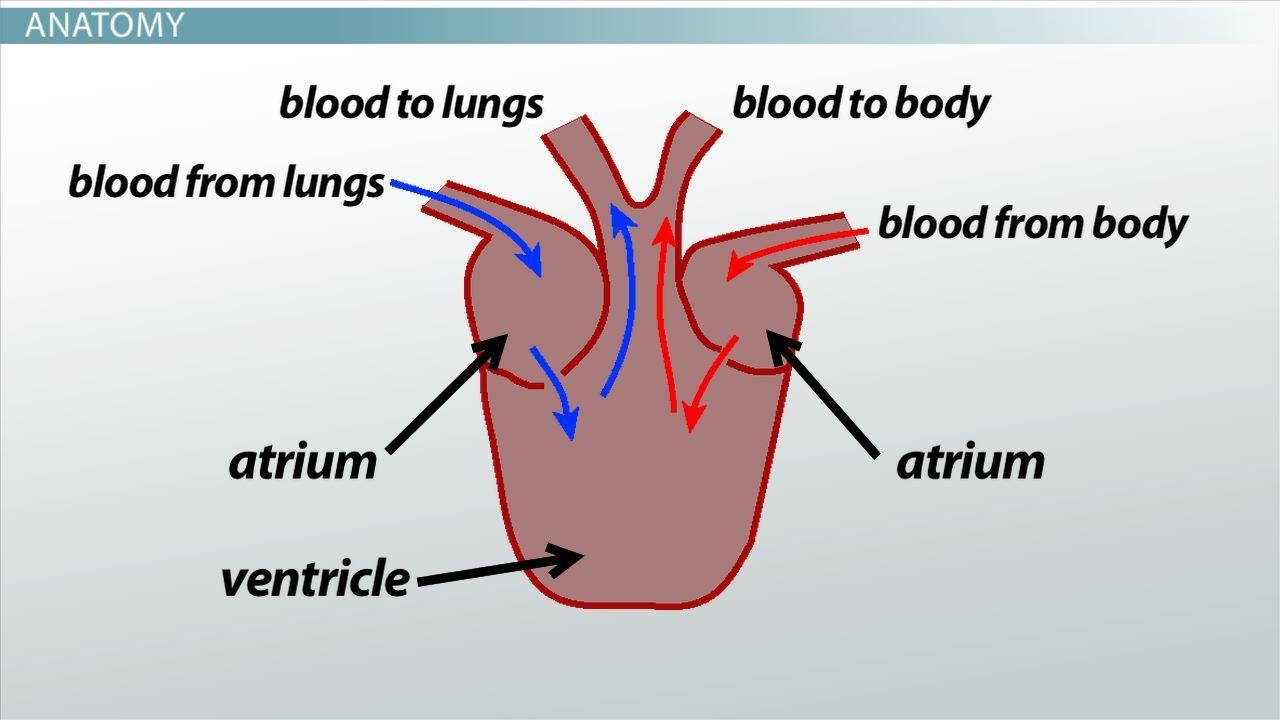Anatomy Of A Fish Heart Three Chambered Heart Definition Anatomy ...