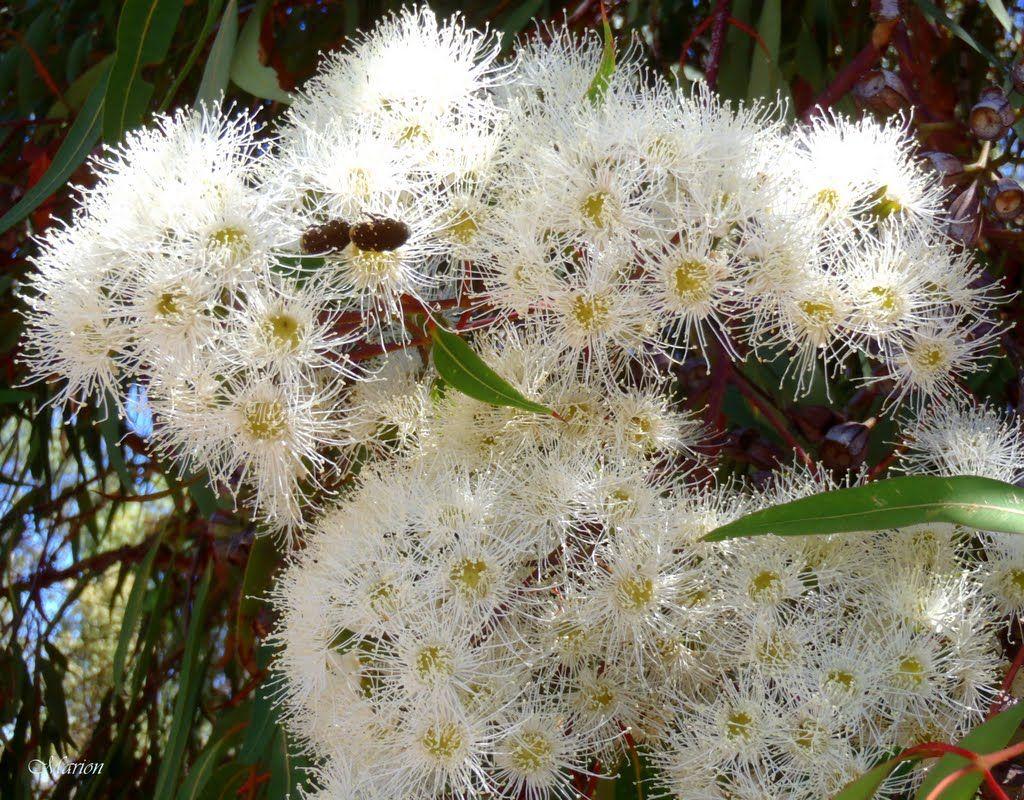 White flowering gum blossom bbb life pinterest white flowering gum blossom mightylinksfo