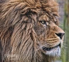 Billedresultat for lion port lympne