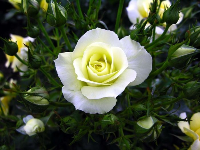 The White Rose A Symbol Of Innocence And Purity Garden Design