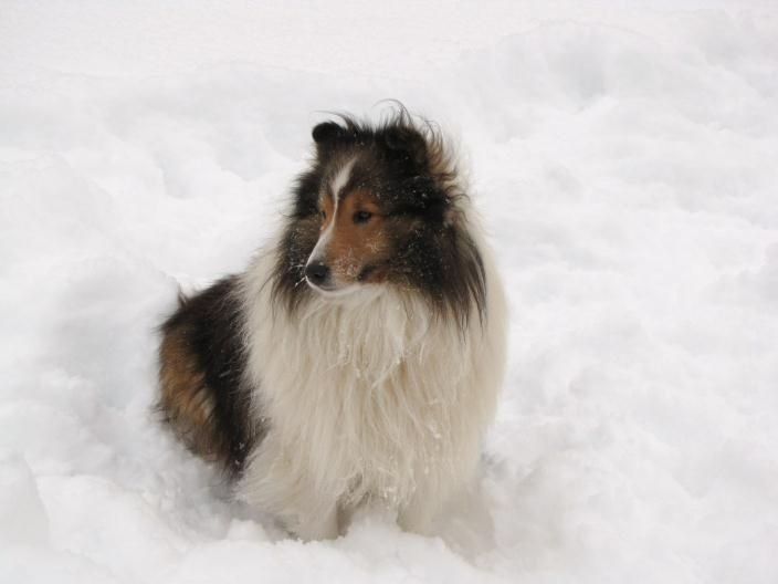 Atwater Sheltie Blessings Shetland Sheepdog Puppies Ny Shetland Sheepdog Shetland Sheepdog Puppies Sheltie Puppies For Sale