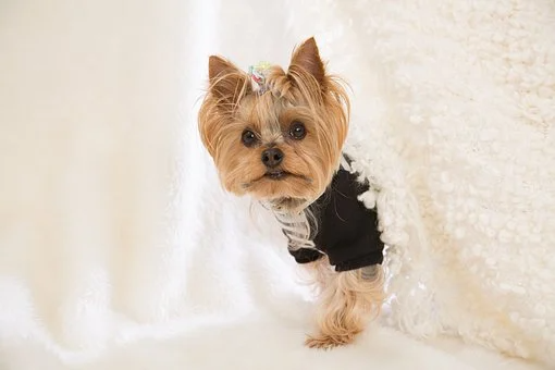 Teacup Puppies For Sale In Texas Tx In 2020 Teacup Puppies Yorkie Puppy Yorkie Puppy For Sale