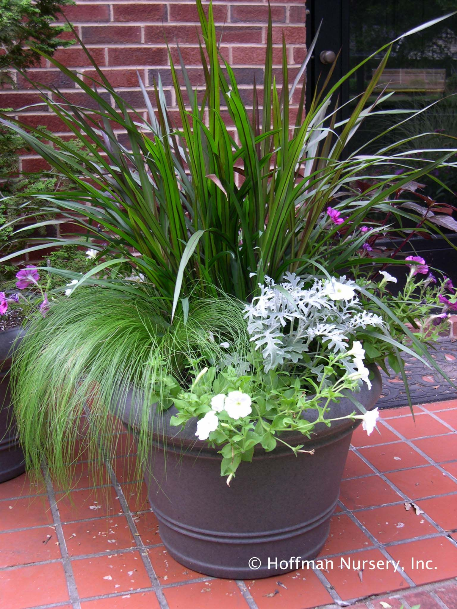 A stunning container combo fine textured nassella for Ornamental grasses for planters